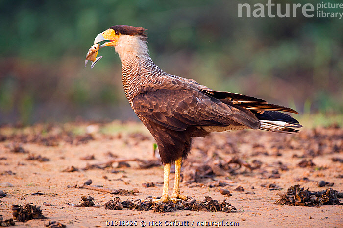 Southern Crested Caracara (Caracara plancus) feeding on a Piranha (Serrasalmus sp.) on the banks of the Pixiam River. Northern Pantanal, Brazil. September  ,  BEHAVIOUR, BIRDS, Brazil, CARACARAS, FEEDING, FISH, FISHING, Pantanal, RIVERS, SERRASALMUS SP, SOUTH-AMERICA, TROPICAL, VERTEBRATES, WATER, WETLANDS  ,  Nick Garbutt