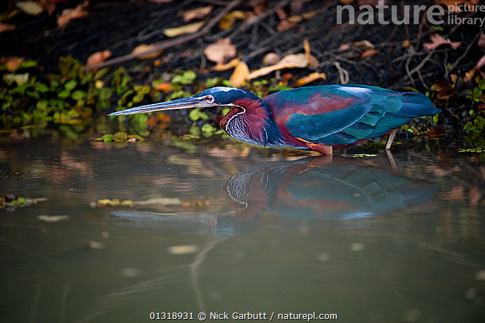 Agami / Chestnut-bellied Heron (Agamia agami) stalking the margins of the Pixiam River, northern Pantanal, Brazil. September  ,  BIRDS,BRAZIL,COLOURFUL,HERONS,PANTANAL,REFLECTIONS,RIVERS,SOUTH AMERICA,TROPICAL,VERTEBRATES,WATER,WETLANDS  ,  Nick Garbutt