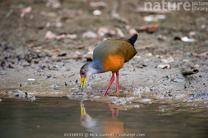 Grey-necked Woodrail (Aramides cajanea) on the edge of the Pixiam River, northern Pantanal, Brazil. September  ,  BIRDS,BRAZIL,COLOURFUL,FORAGING,PANTANAL,RAILS,REFLECTIONS,RIVERS,SOUTH AMERICA,TROPICAL,VERTEBRATES,WATER,WATERFOWL,WETLANDS  ,  Nick Garbutt