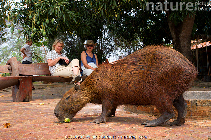 Tame wild Capybara (Hydrochoerus hydrochaeris) with tourists watching,  Araras Lodge, Northern Pantanal, Brazil. September 2010  ,  BRAZIL,CAPYBARAS,CAUCASIANS,MAMMALS,PANTANAL,PEOPLE,RODENTS,SOUTH AMERICA,TOURISM,TROPICAL,URBAN,VERTEBRATES,WETLANDS,WOMEN  ,  Nick Garbutt