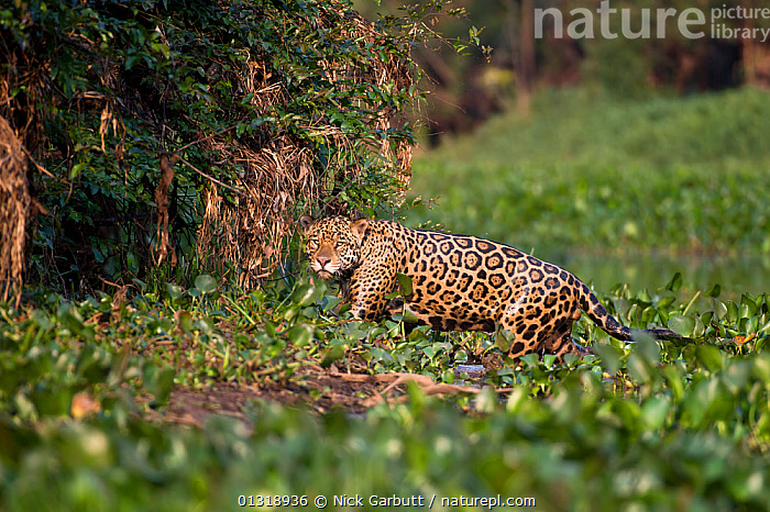 Male Jaguar (Panthera onca palustris) emerging from bed of Water Hyacinths (Eichhornia sp.) at the edge of a tributary of Cuiaba River, Northern Pantanal, Brazil. September  ,  BIG CATS,BRAZIL,CARNIVORES,EICHHORNIA CRASSIPES,ENDANGERED,JAGUARS,MALES,MAMMALS,PANTANAL,PANTHER,RIVERS,SOUTH AMERICA,TROPICAL,VERTEBRATES,WATER,WETLANDS  ,  Nick Garbutt