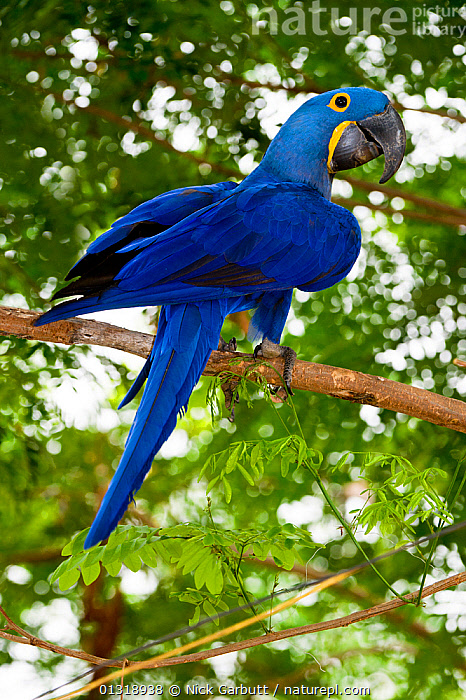 Hyacinth Macaw (Anodorhynchus hyacinthinus) in forest bordering of the Cuiaba River, Northern Pantanal, Brazil. September  ,  BIRDS,BLUE,BRAZIL,COLOURFUL,ENDANGERED,MACAWS,PANTANAL,PARROTS,PORTRAITS,SOUTH AMERICA,TROPICAL,TROPICAL RAINFOREST,VERTEBRATES,VERTICAL,WETLANDS  ,  Nick Garbutt