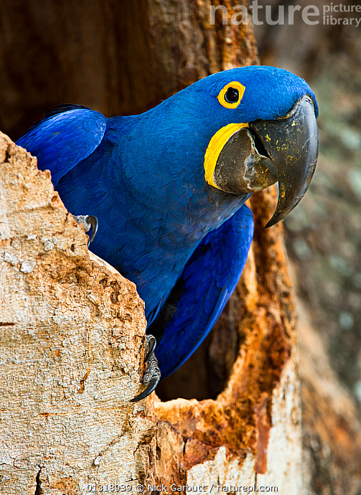 Hyacinth Macaw (Anodorhynchus hyacinthinus) head portrait at nest hole, in forest bordering of the Cuiaba River, Northern Pantanal, Brazil. September  ,  BIRDS,BLUE,BRAZIL,CLOSE UPS,COLOURFUL,ENDANGERED,MACAWS,NESTS,PANTANAL,PARROTS,PORTRAITS,SOUTH AMERICA,TROPICAL,VERTEBRATES,VERTICAL,WETLANDS  ,  Nick Garbutt