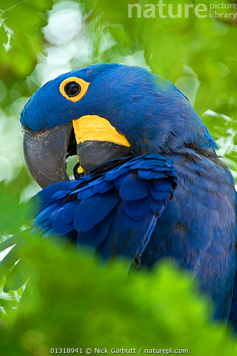 Hyacinth Macaw (Anodorhynchus hyacinthinus) head portraits preening, in forest bordering of the Cuiaba River, Northern Pantanal, Brazil. September  ,  BIRDS,BLUE,BRAZIL,CLOSE UPS,COLOURFUL,ENDANGERED,FEATHERS,MACAWS,PANTANAL,PARROTS,PORTRAITS,PREENING,SOUTH AMERICA,TROPICAL,TROPICAL RAINFOREST,VERTEBRATES,VERTICAL,WETLANDS  ,  Nick Garbutt