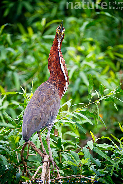 Rufescent Tiger Heron (Tigrisoma lineatum) in vegetation on the banks of the Piquiri River (a tributary of Cuiaba River). Northern Pantanal, Brazil. September  ,  BIRDS,BRAZIL,EYES,HERONS,PANTANAL,PORTRAITS,RIVERS,SOUTH AMERICA,TROPICAL,VERTEBRATES,VERTICAL,WATER,WETLANDS  ,  Nick Garbutt