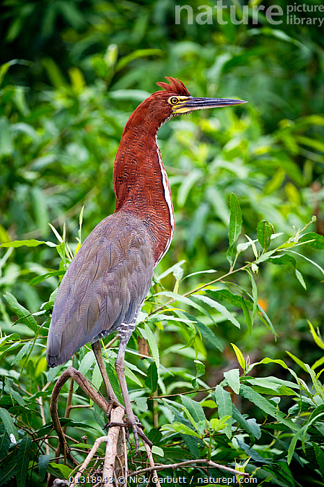 Rufescent Tiger Heron (Tigrisoma lineatum) portrait in vegetation on the banks of the Piquiri River (a tributary of Cuiaba River). Northern Pantanal, Brazil. September  ,  BIRDS,BRAZIL,HERONS,PANTANAL,PORTRAITS,RIVERS,SOUTH AMERICA,TROPICAL,VERTEBRATES,VERTICAL,WATER,WETLANDS  ,  Nick Garbutt