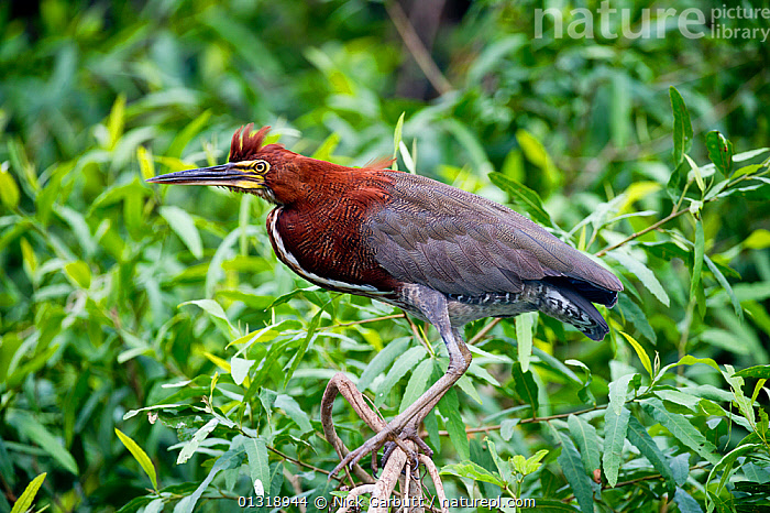 Rufescent Tiger Heron (Tigrisoma lineatum) portrait in vegetation on the banks of the Piquiri River (a tributary of Cuiaba River). Northern Pantanal, Brazil. September  ,  BIRDS,BRAZIL,HERONS,PANTANAL,PORTRAITS,RIVERS,SOUTH AMERICA,TROPICAL,VERTEBRATES,WATER,WETLANDS  ,  Nick Garbutt