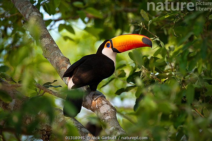 Toco Toucan (Ramphastos toco) in the forest canopy adjacent to the Piquiri River, northern Pantanal, Mato Grosso, Brazil. September  ,  BIRDS,BRAZIL,PANTANAL,PORTRAITS,RIVERS,SOUTH AMERICA,TOUCANS,TROPICAL,VERTEBRATES,WATER,WETLANDS  ,  Nick Garbutt