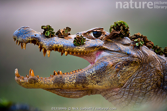 Yacare Caiman (Caiman yacare) head portrait with mouth open, covered in plant depris, at the edge of the Piquiri River, northern Pantanal, Brazil. September  ,  ALLIGATORS,BRAZIL,CROCODILIANS,PANTANAL,PORTRAITS,PROFILE,REPTILES,RIVERS,SOUTH AMERICA,TEETH,TROPICAL,VERTEBRATES,WATER,WETLANDS,Crocodylia,Caimans  ,  Nick Garbutt