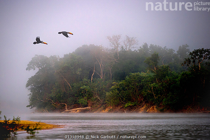 A pair of Toco Toucans (Ramphastos toco) flying across the Piquiri River at dawn, northern Pantanal, Mato Grosso, Brazil, September. (Digitally Modified)  ,  BIRDS,Brazil,catalogue3,DAWN,flight,FLYING,LANDSCAPES,MALE FEMALE PAIR,Mato Grosso,MIST,misty,Nobody,on the move,outdoors,Pair,Pantanal,Piquiri River,remote,river,RIVERS,SOUTH AMERICA,TOUCANS,TROPICAL,two animals,VERTEBRATES,WATER,WETLANDS,WILDLIFE  ,  Nick Garbutt