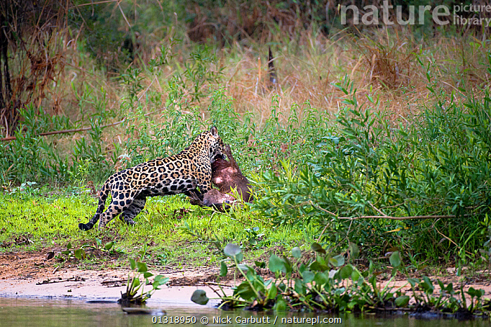 Wild male Jaguar (Panthera onca palustris) dragging a Capybara (Hydrochoerus hydrochaeris) it has killed at the edge of a tributary of Cuiaba River, Northern Pantanal, Brazil. September  ,  BEHAVIOUR,BIG CATS,BRAZIL,CARNIVORES,ENDANGERED,HUNTING,JAGUARS,MALES,MAMMALS,PANTANAL,PANTHER,PREDATION,RIVERS,SOUTH AMERICA,TROPICAL,VERTEBRATES,WATER,WETLANDS  ,  Nick Garbutt