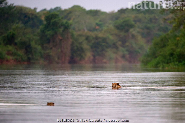 Wild female Jaguar (Panthera onca palustris) swimming across a channel of the Piquiri River (a tributary of Cuiaba River), while watching a startled Capybara (Hydrochaeris hydrochaeris) swimming the opposite way. Northern Pantanal, Brazil. September  ,  BEHAVIOUR,BIG CATS,BRAZIL,CARNIVORES,ENDANGERED,FEMALES,HUMOUROUS,INTERESTING,JAGUARS,MAMMALS,MIXED SPECIES,PANTANAL,PANTHER,RIVERS,SOUTH AMERICA,SWIMMING,TROPICAL,VERTEBRATES,WATER,WETLANDS  ,  Nick Garbutt