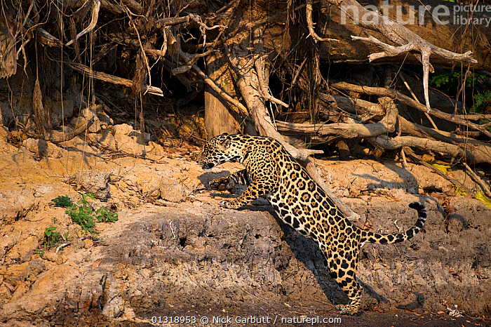 Wild female Jaguar (Panthera onca palustris) jumping up sandy bluff on the banks of the Piquiri River (a tributary of Cuiaba River). Northern Pantanal, Brazil. September  ,  BEHAVIOUR,BIG CATS,CARNIVORES,ENDANGERED,FEMALES,JAGUARS,MAMMALS,PANTHER,SOUTH AMERICA,TROPICAL,VERTEBRATES,WETLANDS  ,  Nick Garbutt