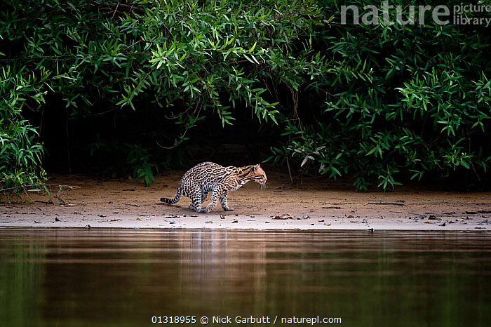 Wild Ocelot (Felis pardalis) on the banks of the Piquiri River (a tributary of Cuiaba River) Northern Pantanal, Brazil. September  ,  animals in the wild,Brazil,CARNIVORES,catalogue3,CATS,curiosity,elevated view,full length,MAMMALS,Nobody,Northern Pantanal,one animal,outdoors,Pantanal,Piquiri River,Riverbank,RIVERS,side view,SOUTH AMERICA,stalking,stealth,TROPICAL,undergrowth,VERTEBRATES,view to land,WALKING,WATER,water surface,WETLANDS,WILDLIFE  ,  Nick Garbutt