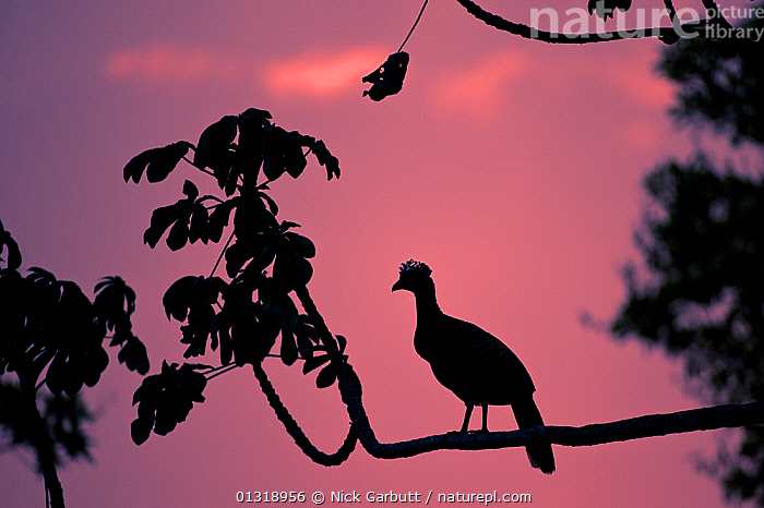 Silhouette of Bare-faced Curassow (Crax fasciolata) silhouetted against pink sky,  along the banks of the Cuiaba River. Northern Pantanal, Brazil. September  ,  BIRDS,BRAZIL,CURASSOWS,PANTANAL,PINK,RIVERS,SILHOUETTES,SKIES,SOUTH AMERICA,TROPICAL,VERTEBRATES,WATER,WETLANDS  ,  Nick Garbutt