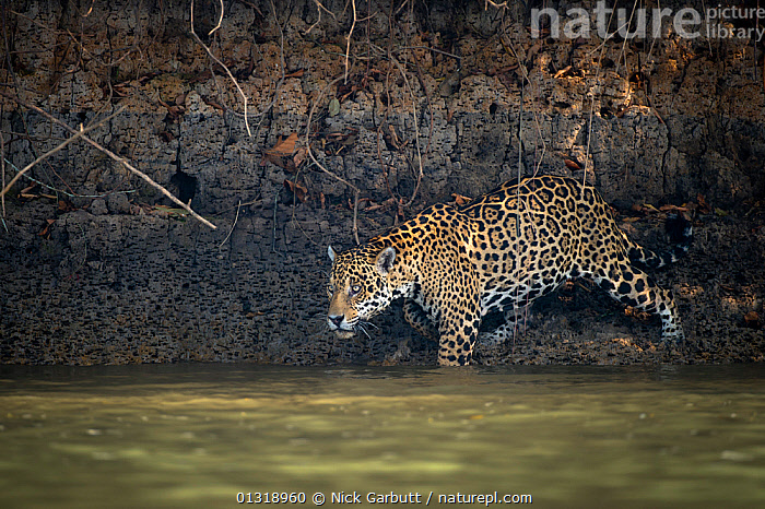 Wild male Jaguar (Panthera onca palustris) entering the Piquiri River, a tributary of Cuiaba River, Northern Pantanal, Brazil. September  ,  BEHAVIOUR,BIG CATS,BRAZIL,CARNIVORES,ENDANGERED,JAGUARS,MALES,MAMMALS,PANTANAL,PANTHER,RIVERS,SOUTH AMERICA,SWIMMING,TROPICAL,VERTEBRATES,WATER,WETLANDS  ,  Nick Garbutt