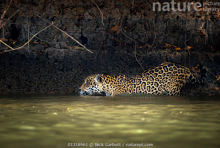 Wild male Jaguar (Panthera onca palustris) entering the Piquiri River, a tributary of Cuiaba River, Northern Pantanal, Brazil. September  ,  BEHAVIOUR,BIG CATS,BRAZIL,CARNIVORES,ENDANGERED,JAGUARS,MAMMALS,PANTANAL,PANTHER,RIVERS,SOUTH AMERICA,TROPICAL,VERTEBRATES,WATER,WETLANDS  ,  Nick Garbutt