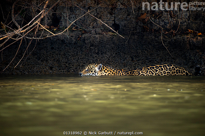 Wild male Jaguar (Panthera onca palustris) swimming along the margins of the Piquiri River, a tributary of Cuiaba River, Northern Pantanal, Brazil. September  ,  BEHAVIOUR,BIG CATS,BRAZIL,CARNIVORES,ENDANGERED,JAGUARS,MALES,MAMMALS,PANTANAL,PANTHER,RIVERS,SOUTH AMERICA,SWIMMING,TROPICAL,VERTEBRATES,WATER,WETLANDS  ,  Nick Garbutt