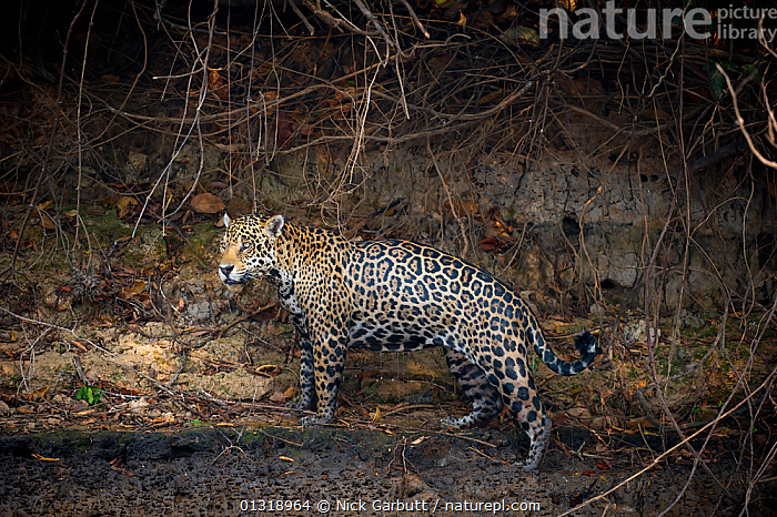 Wild male Jaguar (Panthera onca palustris) wet from swimming, standing on the banks of the Piquiri River, a tributary of Cuiaba River, Northern Pantanal, Brazil. September  ,  BEHAVIOUR,BIG CATS,BRAZIL,CARNIVORES,ENDANGERED,JAGUARS,MALES,MAMMALS,PANTANAL,PANTHER,RIVERS,SOUTH AMERICA,TROPICAL,VERTEBRATES,WATER,WET,WETLANDS  ,  Nick Garbutt