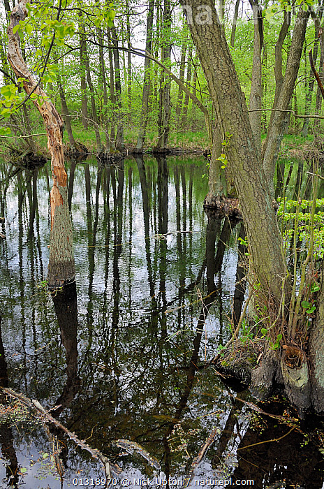 Black Alder (Alnus glutinosa) trees and reflections in Alder carr swamp water. Schorfheide-chorin Biosphere reserve, Brandenburg, Germany. May 2010.  ,  BETULACEAE,DICOTYLEDONS,EUROPE,FORESTS,FRESHWATER,GERMANY,PLANTS,REFLECTIONS,RESERVE,TREES,VERTICAL,WATER,WETLANDS  ,  Nick Upton