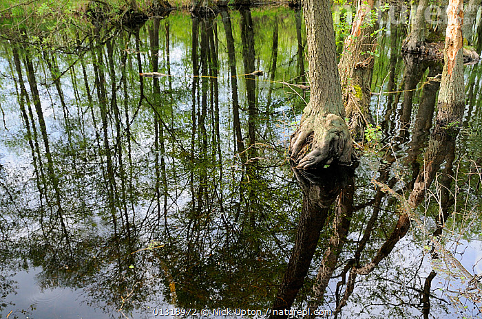 Black Alder (Alnus glutinosa) trees and reflections in Alder carr swamp water. Schorfheide-chorin Biosphere reserve, Brandenburg, Germany. May 2010.  ,  BETULACEAE,DICOTYLEDONS,EUROPE,FORESTS,FRESHWATER,GERMANY,PLANTS,REFLECTIONS,RESERVE,TREES,WATER,WETLANDS  ,  Nick Upton