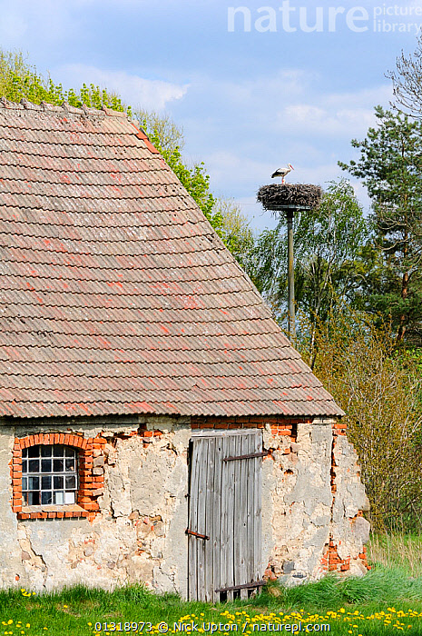 Small traditional barn, with White storks (Ciconia ciconia) nesting on artificial platform nearby. Schorfheide-chorin Biosphere reserve, Brandenburg, Germany, May 2010.  ,  ARCHITECTURE,BARNS,BIRDS,BUILDINGS,CICONIDAE,DELAPIDATED,EUROPE,FARMING,GERMANY,NESTS,RESERVE,RUINS,STORKS,TRADITIONAL,TREES,VERTEBRATES,VERTICAL,PLANTS  ,  Nick Upton