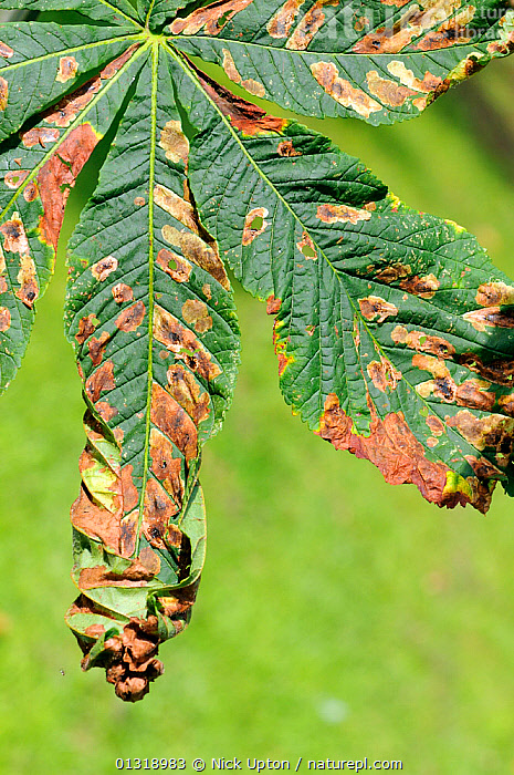 Horse Chestnut (Aesculus hippocastanum) leaves damaged by caterpillars of the Horse chestnut leaf miner moth (Cameraria ohridella). Wiltshire garden, September 2010.  ,  CAMERARIA OHRIDELLA,DICOTYLEDONS,DISEASE,DISEASES,ENGLAND,EUROPE,HIPPOCASTANACEAE,INFESTATIONS,LEAVES,MOTHS,PESTS,PLANTS,SAPINDACEAE,TREES,VERTICAL,Equines  ,  Nick Upton