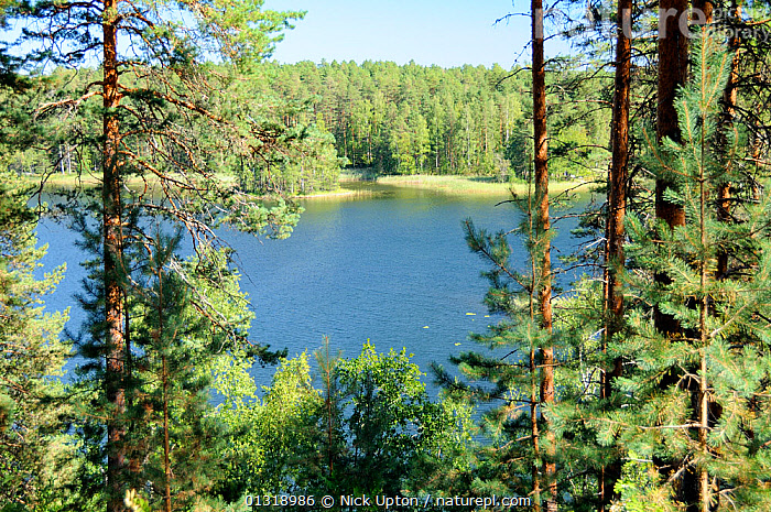 View of Laukanlahti, a branch of Lake Saimaa viewed from an esker ridge at Punkaharju through Scots pine trees (Pinus sylvestris) Near Savonlinna, Finland, August 2010.  ,  CONIFERS,ESKERS,EUROPE,FINLAND,FORESTS,FRESHWATER,GLACIAL,LAKES,LANDSCAPES,PINACEAE,SCANDINAVIA,TREES,PLANTS  ,  Nick Upton