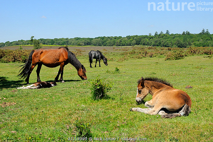 New forest pony (Equus caballus) foals resting while their mothers graze. New Forest National Park, Hampshire, UK, June 2010.  ,  BABIES,ENGLAND,EUROPE,FEEDING,GRASSLAND,HEATHLAND,HORSES,JUVENILE,LANDSCAPES,MAMMALS,MARES,NP,PERISSODACTYLA,SLEEPING,VERTEBRATES,National Park,United Kingdom  ,  Nick Upton