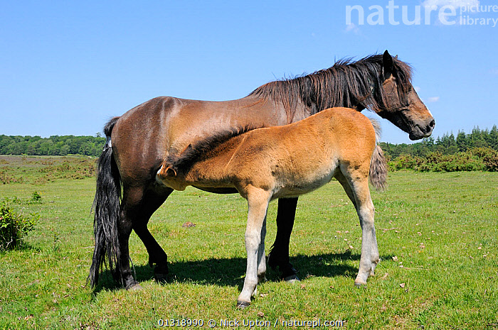 New forest pony (Equus caballus) mother suckling her foal. New Forest National Park, Hampshire, UK, June 2010.  ,  BABIES,ENGLAND,EUROPE,FEEDING,GRASSLAND,HEATHLAND,HORSES,MAMMALS,MARES,MOTHER BABY,NP,PERISSODACTYLA,SUCKLING,UK,VERTEBRATES,National Park,United Kingdom  ,  Nick Upton