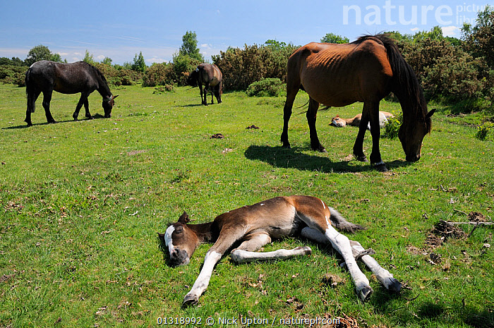 New forest pony (Equus caballus) foals sleeping while their mothers graze grass. New Forest National Park, Hampshire, UK, June 2010.  ,  BABIES,BEHAVIOUR,ENGLAND,EUROPE,FEEDING,GRASSLAND,HEATHLAND,HORSES,LANDSCAPES,LYING DOWN,MAMMALS,MARES,NP,PERISSODACTYLA,PONIES,SLEEPING,UK,VERTEBRATES,National Park,United Kingdom  ,  Nick Upton