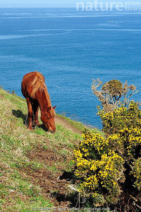 Feral pony (Equus caballus) grazing grass near clifftop footpath and flowering Gorse bush (Ulex europaeus) Near Tintagel, Cornwall, UK, April.  ,  CLIFFS,COASTS,EUROPE,FEEDING,FLOWERS,FORAGING,HORSES,LANDSCAPES,MAMMALS,NP,PERISSODACTYLA,SEA,UK,VERTEBRATES,VERTICAL,YELLOW,Geology,ENGLAND,National Park,United Kingdom,Equines,core collection xtwox  ,  Nick Upton