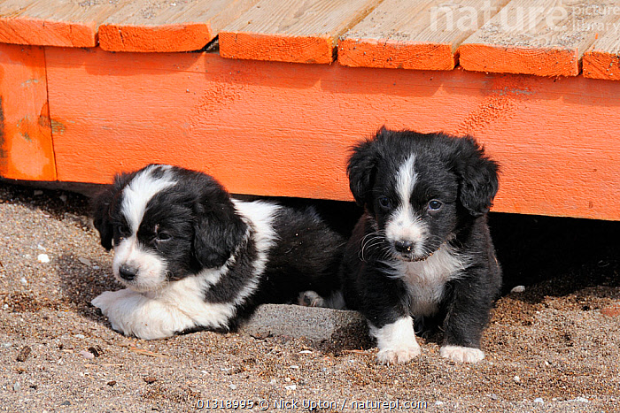 Two mixed-breed puppies (Canis familiaris) emerging from under a beach boardwalk. Skala Kalloni, Lesbos / Lesvos, Greece.  ,  BABIES,BLACK,CANIDAE,CANIDS,COLLIES,CUTE,DOGS,EUROPE,GREECE,MEDIUM DOGS,MONGRELS,OUTDOORS,PASTORAL DOGS,PETS,PUPPIES,TWO,VERTEBRATES,WHITE,YOUNG  ,  Nick Upton