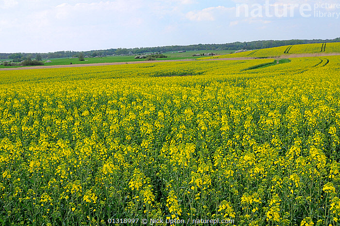 Oilseed rape (Brassica napus) fields in full bloom, Schorfheide-Chorin Biosphere reserve, Brandenburg, Germany, May 2010  ,  AGRICULTURE,BRASSICA,BRASSICACEAE,CROPS,DICOTYLEDONS,EUROPE,FARMLAND,FIELDS,FLOWERS,GERMANY,LANDSCAPES,PLANTS,RESERVE,SPRING,YELLOW  ,  Nick Upton