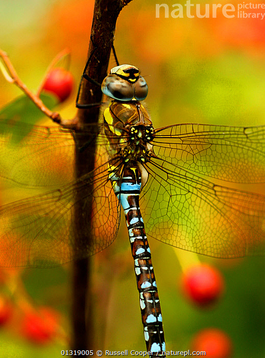 Male Migrant Hawker Dragonfly (Aeshna mixta) South London, UK, September  ,  ARTHROPODS, BLUE, DRAGONFLIES, EUROPE, INSECTS, INVERTEBRATES, ODONATA, PONDS, UK, VERTICAL,United Kingdom  ,  Russell Cooper