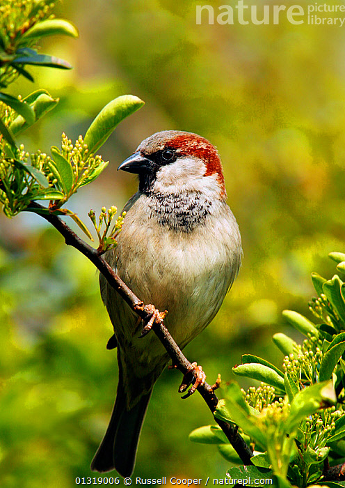 Male Common / House sparrow (Passer domesticus) perched, South London, UK, April  ,  BIRDS,EUROPE,GARDENS,HOUSE SPARROW,MALES,SONGBIRDS,SPARROWS,UK,VERTEBRATES,VERTICAL,United Kingdom  ,  Russell Cooper