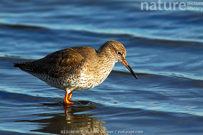 Redshank (Tringa totanus) in the shallows,  Brownsea Island Lagoon, Poole Harbour, Dorset, 