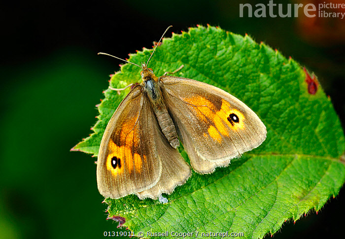 Female Meadow brown butterfly (Maniola jurtina) resting on leaf, South London, UK, August  ,  ARTHROPODS,BUTTERFLIES,EUROPE,FEMALES,INSECTS,INVERTEBRATES,LEPIDOPTERA,UK,United Kingdom  ,  Russell Cooper
