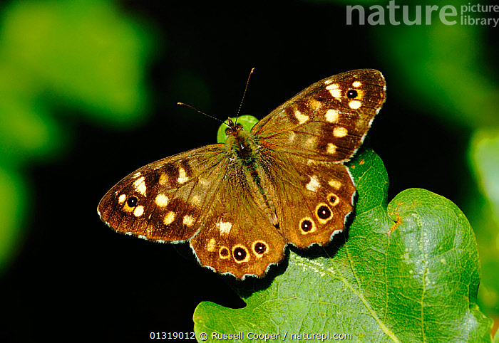 Male Speckled wood butterfly (Pararge aegeria) sunning on leaf, South London, UK, August  ,  animal pattern,ARTHROPODS,BROWN,BUTTERFLIES,catalogue3,close up,CLOSE UPS,EUROPE,full length,INSECTS,INVERTEBRATES,leaf,LEPIDOPTERA,london,male animal,MALES,Nobody,one animal,outdoors,PATTERNS,resting,South London,sunning,symmetry,UK,WILDLIFE,WINGS,YELLOW,United Kingdom  ,  Russell Cooper