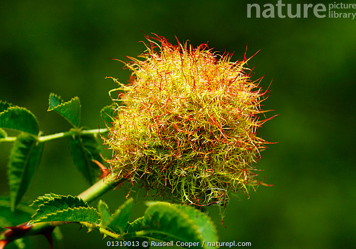Bedeguar gall / Robin's pin cushion (Diplolepis rosae) growing on Dog rose (Rosa canina) South London, UK, August  ,  EUROPE,HYMENOPTERA,INSECTS,INVERTEBRATES,PARASITIC WASPS,UK,WASPS,United Kingdom  ,  Russell Cooper