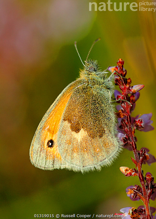 Small heath butterfly (Coenonympha pamphilus) resting on Ling / heather, Wimbledon Common SSSI, South London, UK, September  ,  ARTHROPODS,BUTTERFLIES,EUROPE,FLOWERS,INSECTS,INVERTEBRATES,LEPIDOPTERA,PROFILE,RESERVE,UK,VERTICAL,United Kingdom  ,  Russell Cooper