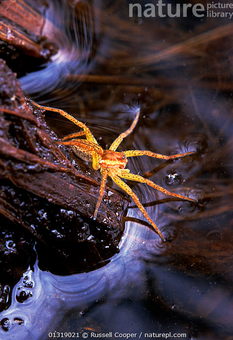 Raft spider (Dolomedes fimbriatus) hunting with front legs resting on the water surface to detect movement, Thursley Common NNR, Surrey, UK  ,  AQUATIC,ARACHNIDS,ARTHROPODS,BEHAVIOUR,EUROPE,INVERTEBRATES,PREDATION,SPIDERS,UK,VERTICAL,WATER,United Kingdom  ,  Russell Cooper