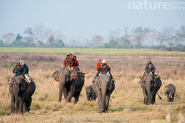 Tourists on an Elephant Safari, Asian elephants (Elephas maximus) with young elephants following, Kaziranga NP, Assam, NE India  ,  ASIA,BABIES,ELEPHANTS,ENDANGERED,GROUPS,INDIA,INDIAN SUBCONTINENT,MAMMALS,MOTHER BABY,NP,OUTDOORS,PEOPLE,PROBOSCIDS,RESERVE,RIDING,SAFARI,TOURISM,VERTEBRATES,WORKING,National Park  ,  Toby Sinclair