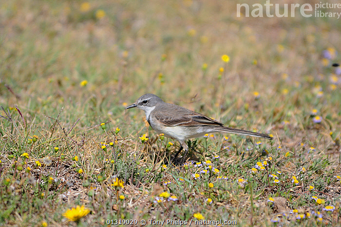 Cape Wagtail (Motacilla capensis) on grass amongst wild flowers, DeHoop NR, Western Cape, South Africa  ,  AFRICA,FLOWERS,RESERVE,SOUTH AFRICA,WAGTAIL,YELLOW  ,  Tony Phelps