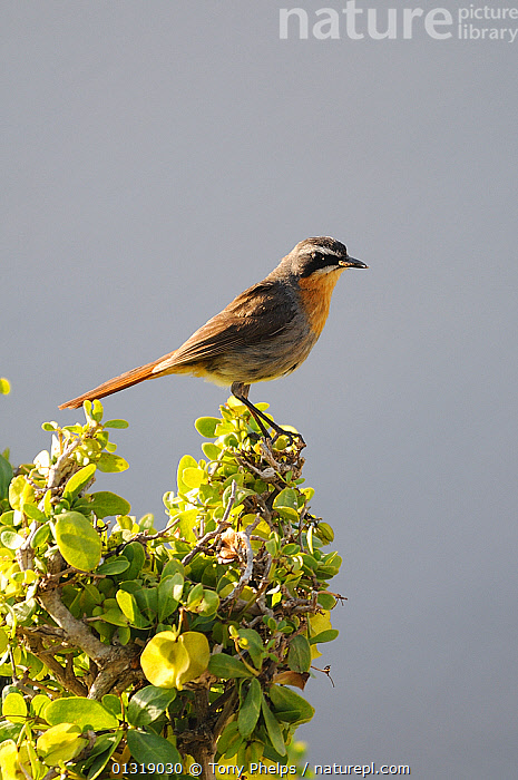 Cape Robin Chat (Cossypha caffra)  perched in shrub, dehoop NR, Western Cape, South Africa  ,  AFRICA,BIRDS,FLYCATCHERS,RESERVE,SONGBIRDS,SOUTH AFRICA,VERTEBRATES,VERTICAL  ,  Tony Phelps