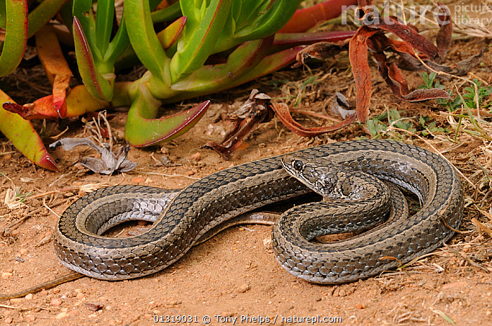 Cross-marked Whip Snake (Psammophis crucifer) deHoop NR, Western Cape, South Africa  ,  AFRICA,COLUBRIDS,REAR FANGED,REPTILES,RESERVE,SNAKES,SOUTH AFRICA,VERTEBRATES  ,  Tony Phelps