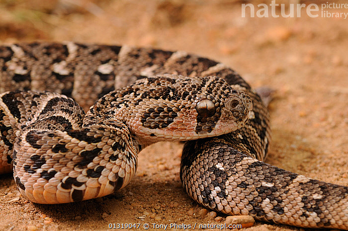 Puff Adder (Bitis arietans) juvenile male snake close up,  deHoop NR, Western Cape, South Africa  ,  AFRICA,JUVENILE,MALES,NP,PATTERNS,REPTILES,RESERVE,SNAKES,SOUTH AFRICA,SOUTHERN AFRICA,Venomous,VERTEBRATES,VIPERS,National Park  ,  Tony Phelps