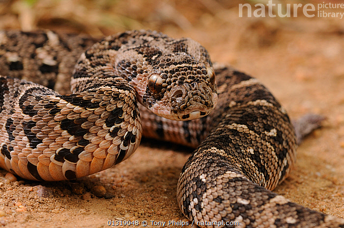 Puff Adder (Bitis arietans) juvenile male close up,  deHoop NR, Western Cape, South Africa  ,  CLOSE UPS,JUVENILE,MALES,NP,PATTERNS,REPTILES,RESERVE,SNAKES,SOUTH AFRICA,VENOMOUS,VERTEBRATES,VIPERS,National Park,Adders  ,  Tony Phelps