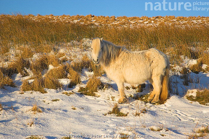 Pony in the winter snow. Brecon Beacons National Park, Powys Wales, January.  ,  COUNTRYSIDE,EUROPE,HORSES,LANDSCAPES,looking at camera,MAMMALS,NP,PERISSODACTYLA,SNOW,UK,VERTEBRATES,WINTER,National Park,United Kingdom,Equines  ,  Peter Lewis