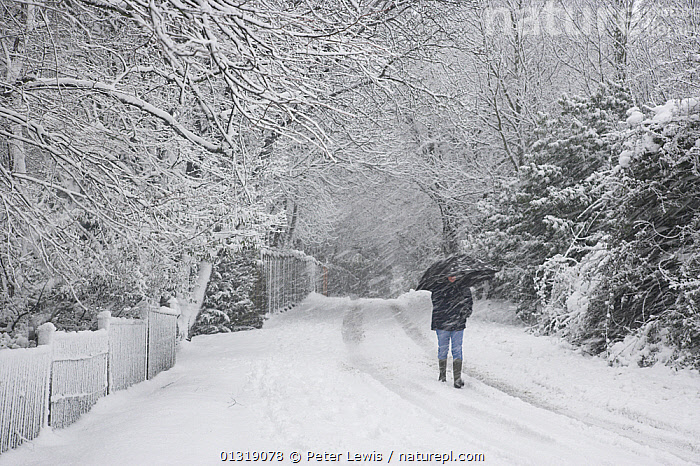 Person walking through heavy snow. Fareham, Hampshire, January 2010.  ,  bad weather,COUNTRYSIDE,EUROPE,one,outdoors,PEOPLE,ROADS,SNOW,TREES,UK,WHITE,WINTER,ENGLAND,PLANTS,United Kingdom  ,  Peter Lewis